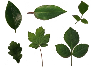 leaf_sheet____by_chop_stock